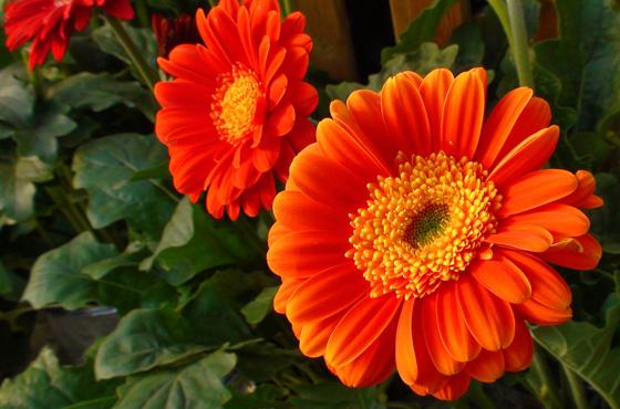 flores-de-gerberas-7