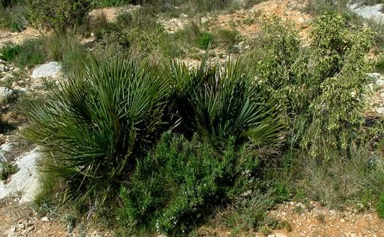 planta-chamaerops-humilis