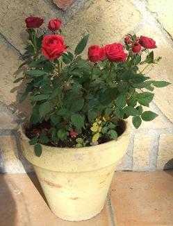 Como utilizar las rosas para decorar cuidado de plantas for Como evitar que salga hierba en el jardin