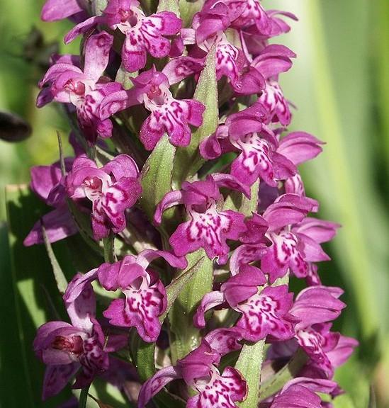549px-Dactylorhiza_majalis_flowers140503