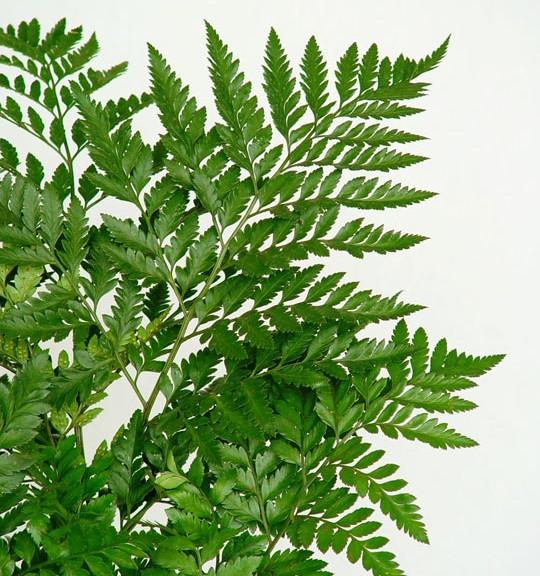 Helechos cuidado de plantas for Plantas ornamentales helechos