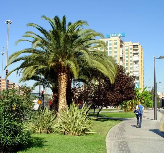 Un tipo de palmera ideal para la jardiner a cuidado de for Viveros canarias