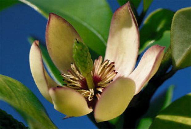 La belleza de la magnolia cuidado de plantas - Magnolia grandiflora cuidados ...