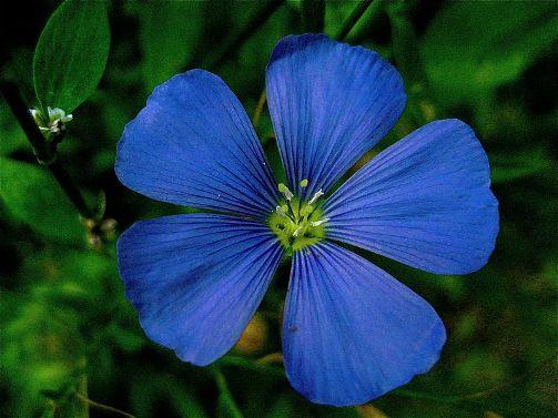 flor-del-lino