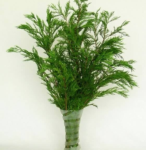 ramas-de-thuja-occidentalis