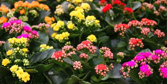 flores-kalanchoe-2