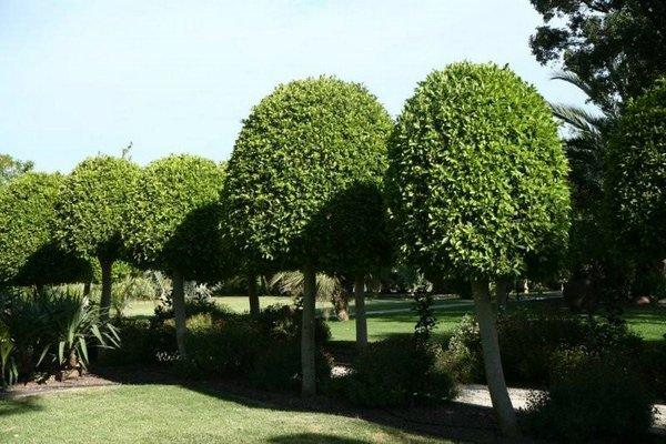 Arboles cuidado de plantas page 4 - Poda del laurel ...