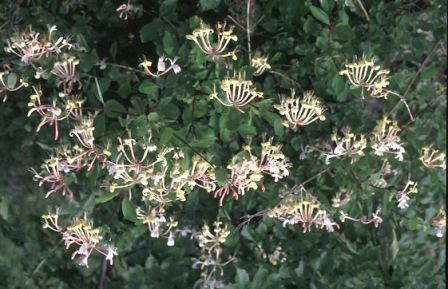Conoce algunos arbustos aromaticos cuidado de plantas - Madreselva planta ...