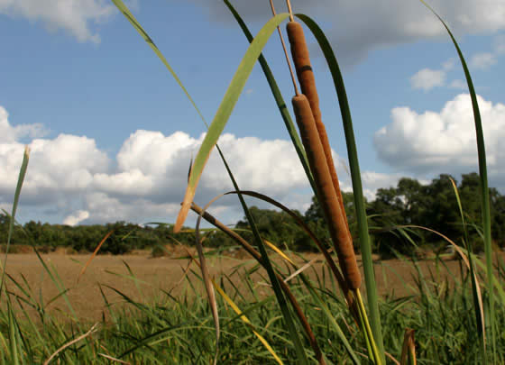 Typha-angustifolia