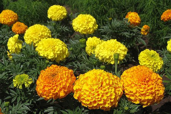flores-de-tagete-erecta