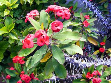 Conoce la planta espina de cristo cuidado de plantas for Vendo plantas ornamentales