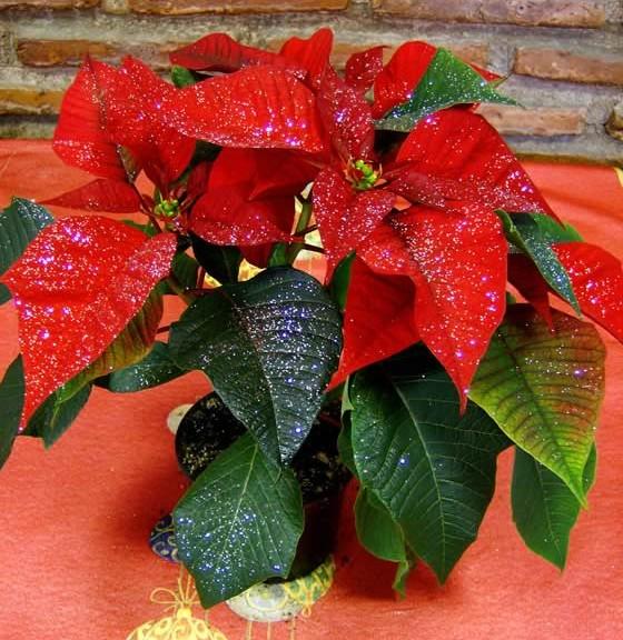 Como se debe cuidar la flor de pascua cuidado de plantas - Flor de pascua cuidados ...