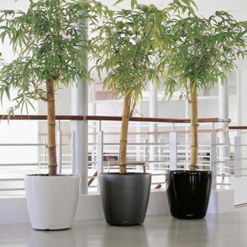 Bambu-de-interior