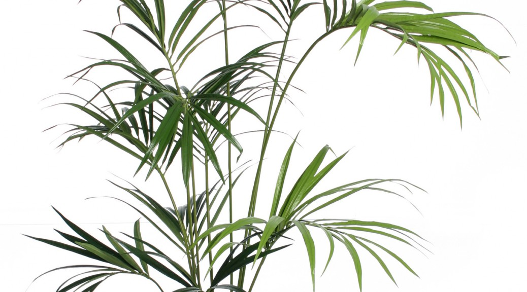 Kentia_Palm