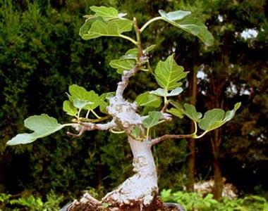 bonsai-ficus-carica-p