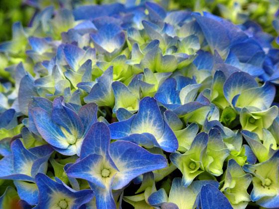 flores-de-hortensias-azules