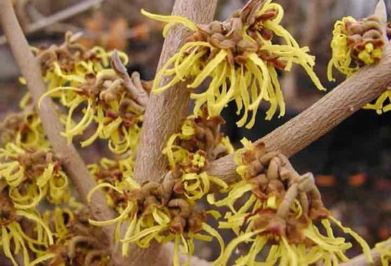El hamamelis virginiana un arbusto le oso cuidado de - Magnolia planta cuidados ...