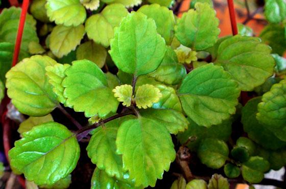 La planta de plectranto cuidado de plantas - Potus planta de mala suerte ...