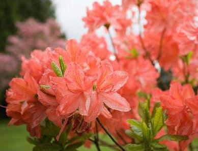Las azaleas para la primavera cuidado de plantas - Azalea cuidados planta ...