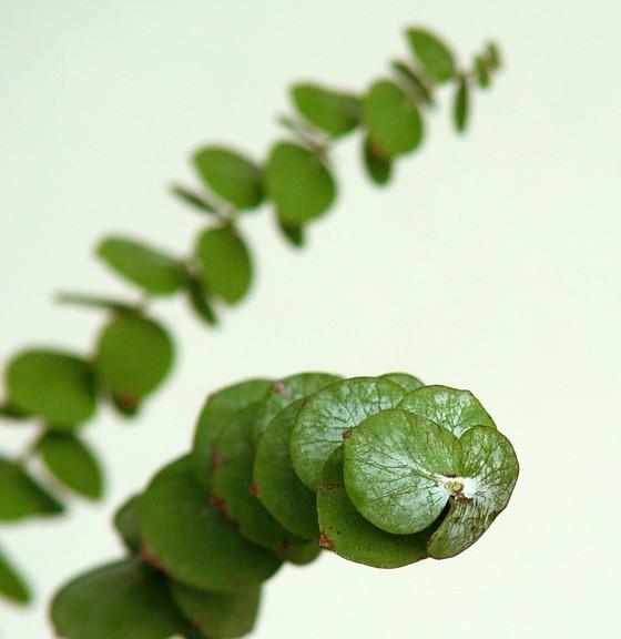 eucaliptus-cinerea