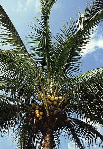 401px-Manila_dwarf_coconut_palm1