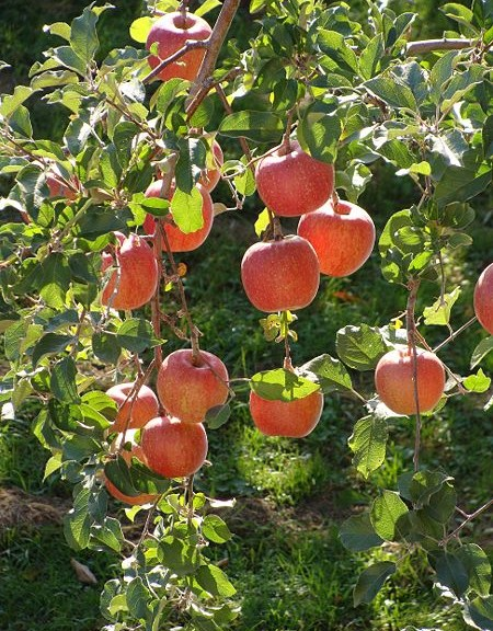 450px-Rosaceae_Malus_pumila_Malus_pumila_Var_domestica_Apples_Fuji