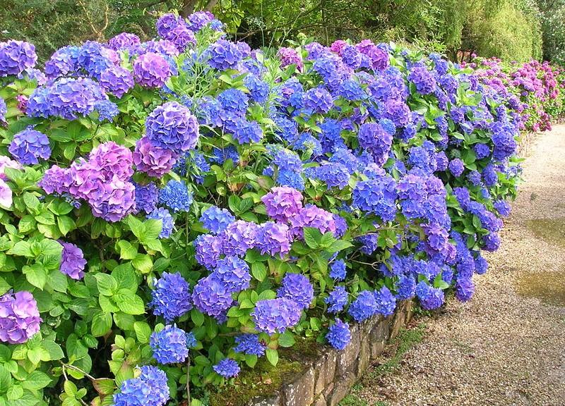 Arbustos cuidado de plantas - Cuidados de las hortensias ...