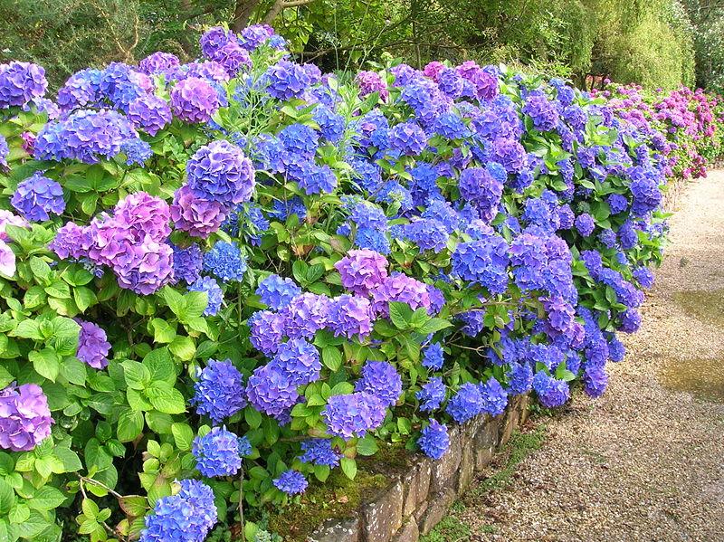 Datos importantes de la hortensia cuidado de plantas - Cuidados de una hortensia ...
