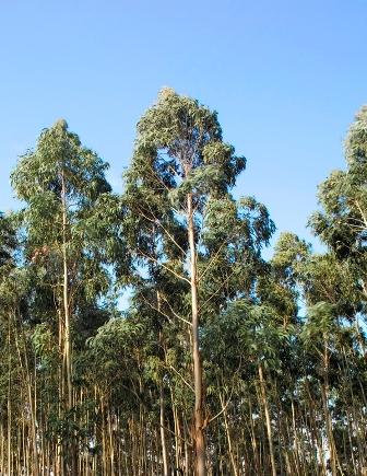 Arboles cuidado de plantas page 2 - Informacion sobre el eucalipto ...