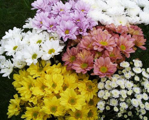 Flores cuidado de plantas page 4 - Como cultivar crisantemos ...