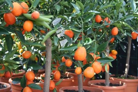 Como cuidar el naranjo enano cuidado de plantas - Como cuidar los arboles frutales ...