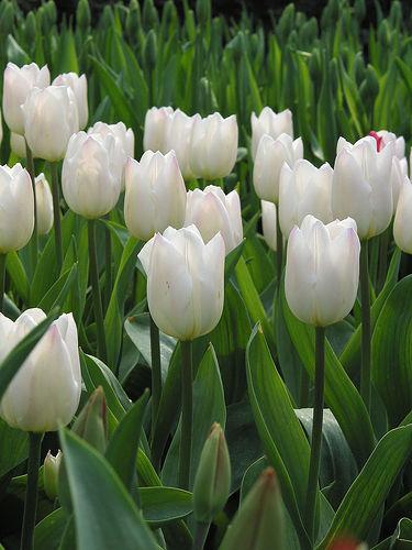 tulipanes-ramo-monocromo
