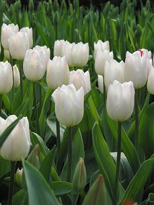 tulipanes-ramo-monocromo1