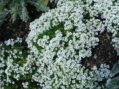 Flores que soportan el calor del sol cuidado de plantas - Plantas que aguanten el sol ...