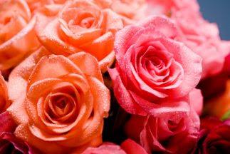 como-cultivar-rosas_323x2161