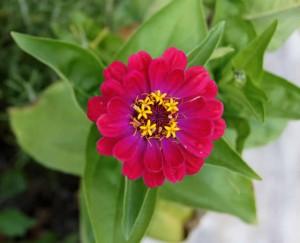 Flores de Zinnias