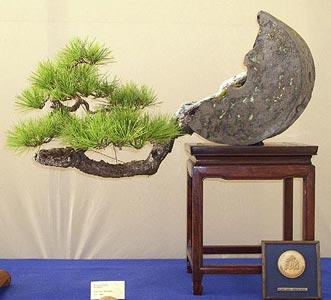 pinus-densiflora-bonsai
