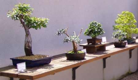 tipos-de-bonsai1