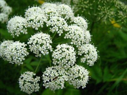 flores-plantas-angelica-255B6-255D