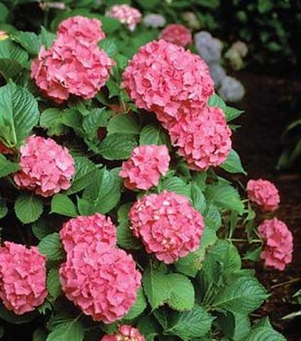 Flores cuidado de plantas page 3 - Cuidados de las hortensias ...