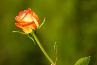 las-rosas-ecuatorianas-las-mejores_323x2161
