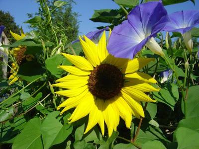 Flores que protegen contra las plagas cuidado de plantas - Plantas para ahuyentar insectos ...