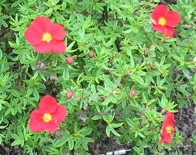 potentilla_fruticosa_marion_red_robin_mine