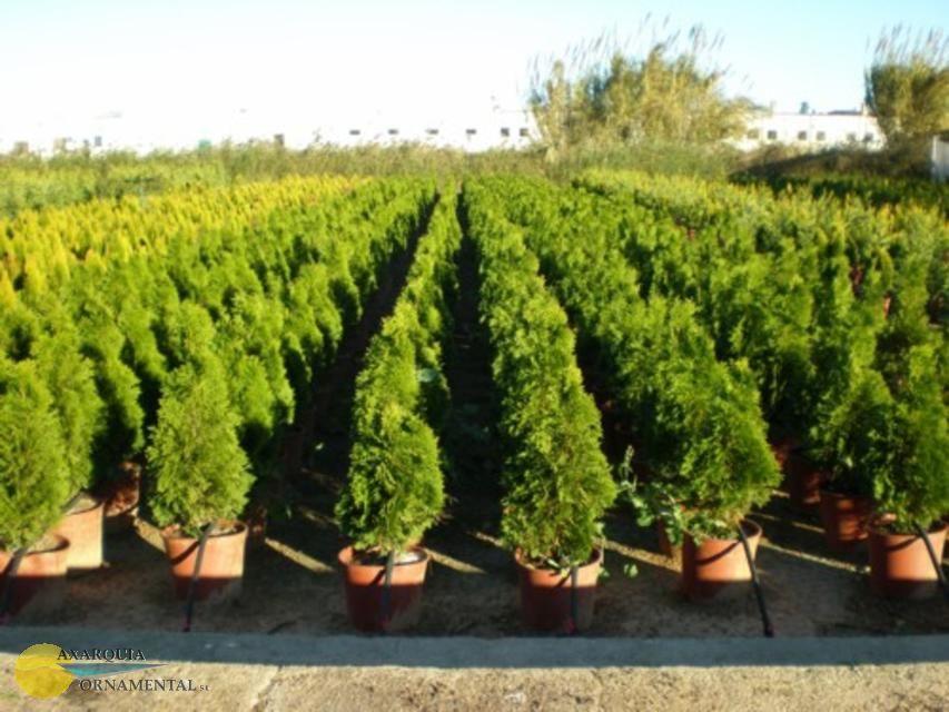 Como cuidar las coniferas ii parte cuidado de plantas for Capillas de velacion jardin de los pinos
