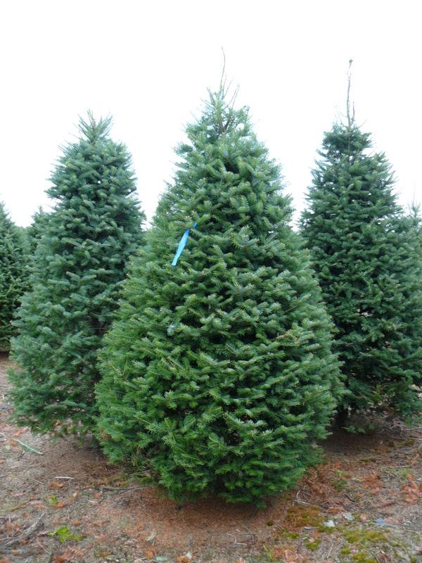 Coniferas cuidado de plantas - Arbol de navidad abeto ...