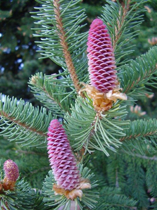Como cuidar las coniferas ii parte cuidado de plantas for Tipos de pinos para jardin
