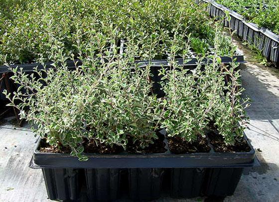 cotoneaster-franchetii