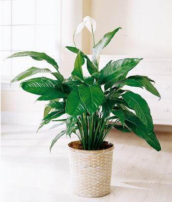 Plantas de interior cuidado de plantas - Cuidado de plantas de interior ...