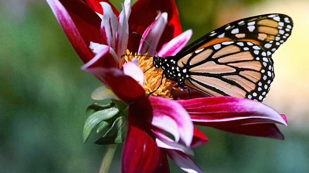 mariposas-12