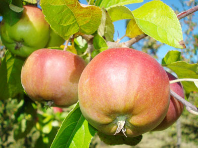 arboles-frutales1